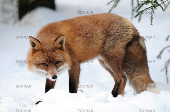 Rotfuchs,Winter, Red-fox