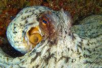 Common Octopus, Cabo Cope Puntas del Calnegre Natural Park, Spain