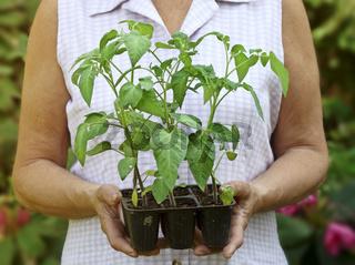 tomato's plant