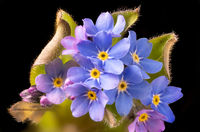 Closeup of a forget-me-not flower and leaves against a dark background