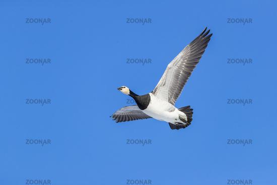 Barnacle Goose in flight / Branta leucopsis