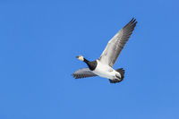 Barnacle Goose in flight / Branta leucopsis