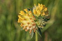 Blütenkopf des Echten Wundklees