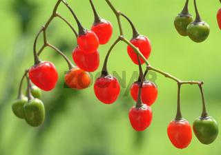 Früchte des Bittersüßer Nachtschatten, Heilpflanze