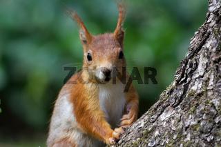 neugieriges Eichhörnchen auf einem Baumstamm