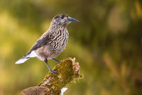 Spotted nutcracker looking on mossed tree with sunlight on green background