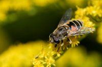 Garten-Keilfleckschwebfliege