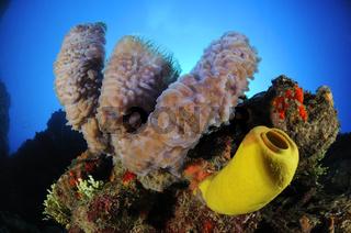 Callyspongia plicifera, Aplysina fistularis, Azurblauer Vasenschwamm und gelber Roehrenschwamm