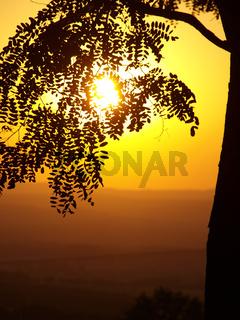 robinia and sunset