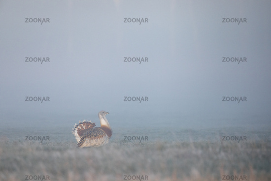 An exciting nature experience when the first Great Bustards emerge from the dense fog