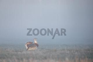 Ein aufregendes Naturerlebnis, wenn die ersten Grosstrappen aus dem dichten Nebel auftauchen