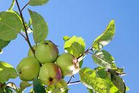 Ripe apples.