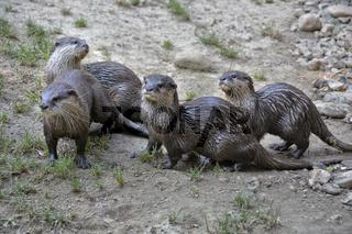 Fischotter-Familie