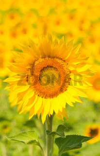 Close up of sunflower, shallow focus