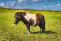 Miniature horse in brown and white colours standing on sunny field