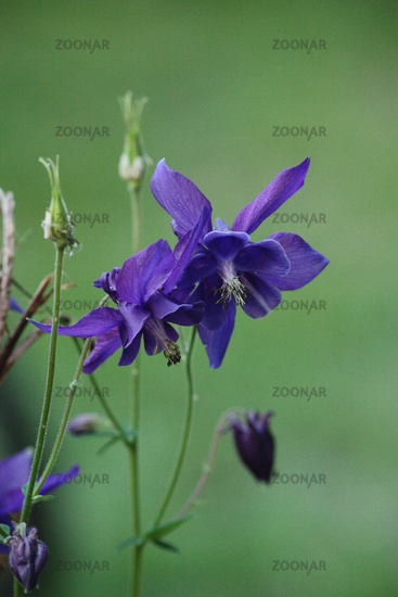 blue flower, columbine