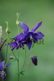 blaue Blume, Akelei