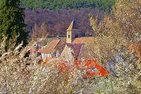 die St. Laurentius Kirche in Gimmeldingen während der Mandelblüte - the St. Laurentius church in Gimmeldingen during the almond blossomalmond blossom