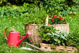 Kräuter im Garten, Herbs in a garden