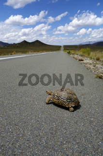 Turtle - Crossing Road