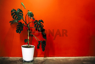 Potted plant against red wall