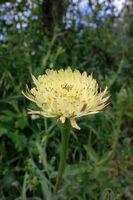 Golden Fleece (Urospermum dalechampii) flowering wild in Tuscany