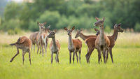 Red deer herd standing on green meadow in spring nature