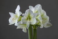 weiße Amaryllis Blume auf grau