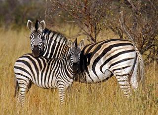 Zebra mit Jungtier im Bwabwata-Nationalpark