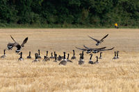 EAST GRINSTEAD, WEST SUSSEX, UK - SEPTEMBER 12 : Canada Geese (Branta canadensis) in a recently harvested wheat field on September 12, 2021. Unidentified person