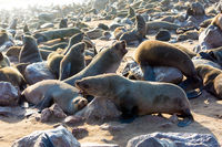 African fur seal rookery
