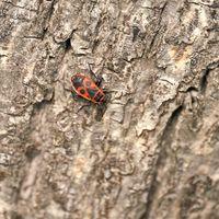 single fire bug (Pyrrhocoris apterus) on the trunk of a lime tree