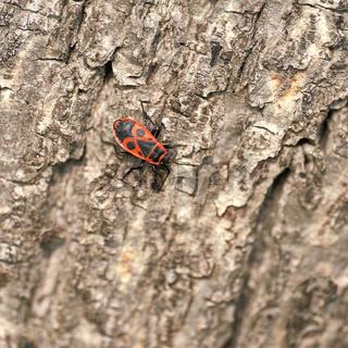 einzelne Feuerwanze (Pyrrhocoris apterus)