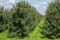 apple trees with ripe fruits on orchard