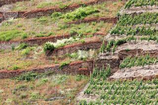 Weinberg am Hang der Mosel, die linke Seite brachgefallen