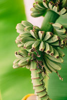 Banana palm blooms. A big yellow flower. Little green bananas on palm tree. Unripe bananas.