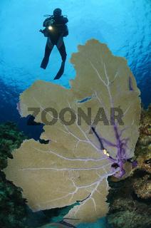 Cyphoma gibbosum und Gorgonia ventalina, Korallenriff mit Flamingozunge auf Gorgonie und Taucher