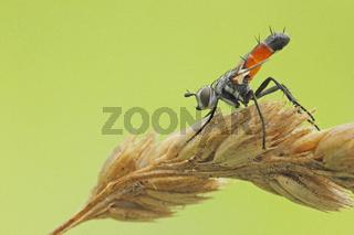 Raupenfliege (Tachinidae)