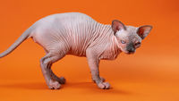 Cute hairless 4-month-old female kitten got up from floor, stretched out tail on orange background