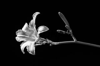 Fine art BW photo of daylily.