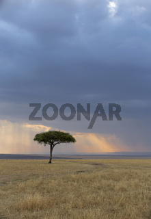 Acacia Tree with blue sky backdrop, Maasai Mara, Africa