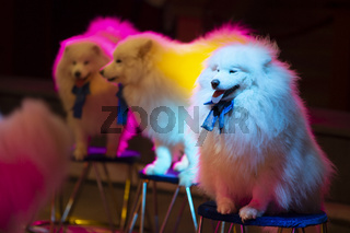 Samoyed circus dogs in multi-colored stage lights. Circus dogs.