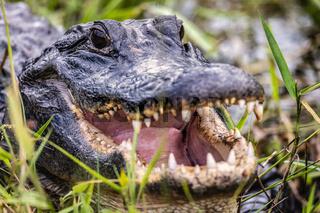 Florida Aligator Poses for the Camera, Florida, USA