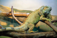 Green iguana also known as the American iguana is a lizard reptile in the genus Iguana in the iguana family. And in the subfamily Iguanidae