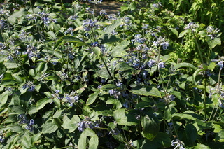 Clematis heracleifolia var. davidiana, Davids Waldrebe, Efeublaettrige Waldrebe, ivyleaved clematis
