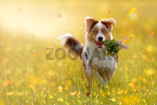 young Australian Shepherd carries bouquet in mouth
