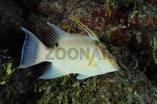 Lachnolaimus maximus, Riesenschweinsfisch