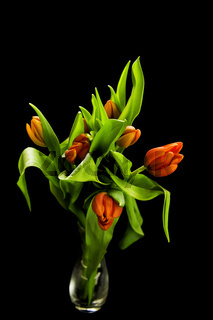 bright red tulips isolated on a black background