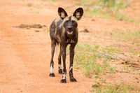 African wild dog (Lycaon pictus), also called painted dog, or Cape Hound in Tsavo West Park in Kenya