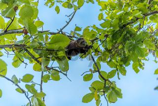 Bärenkuskus auf der Togian Insel Poyalisa in Sulawesi